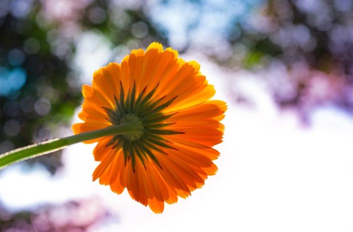 pot-marigold-free-license-cc0
